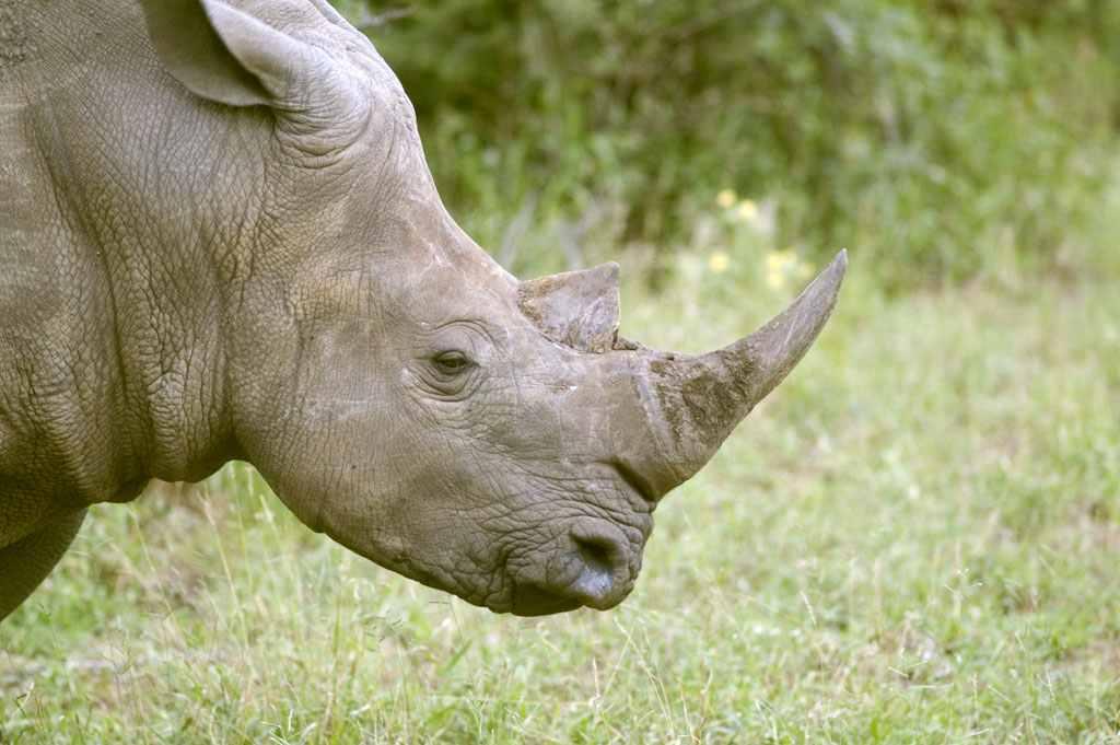 للبيع قرن الخرتيت اوكركدن او وحيد القرن الافريقى المنقرض خام