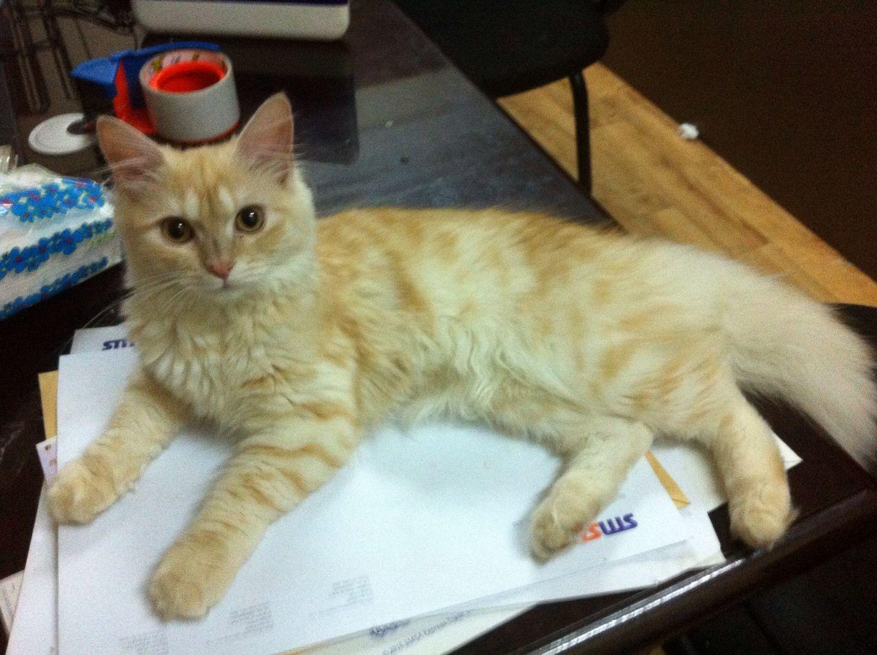 قطة شيرازية للبيع 187083229