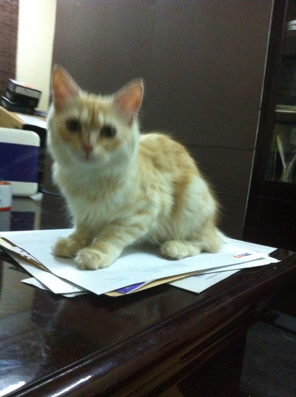قطة شيرازية للبيع 941561071