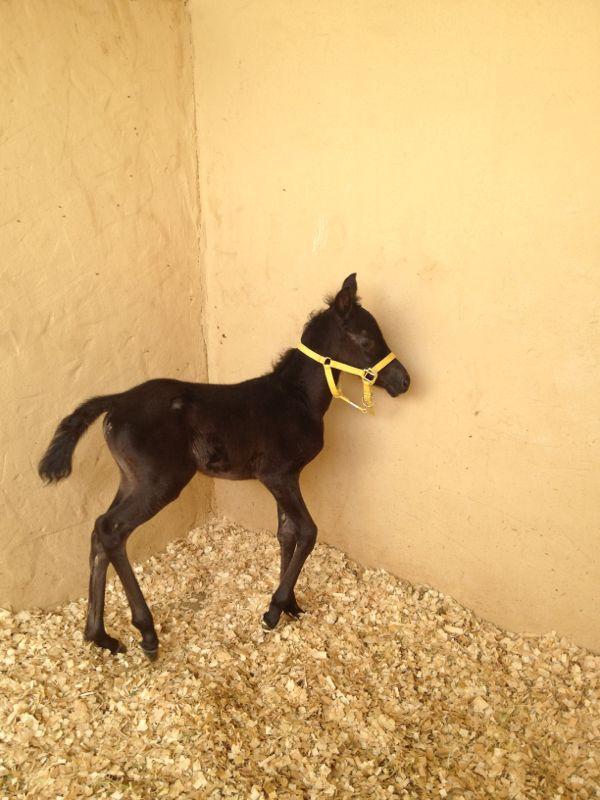 خيول عربية اصيلة للبيع فى السعودية 2021 203616574