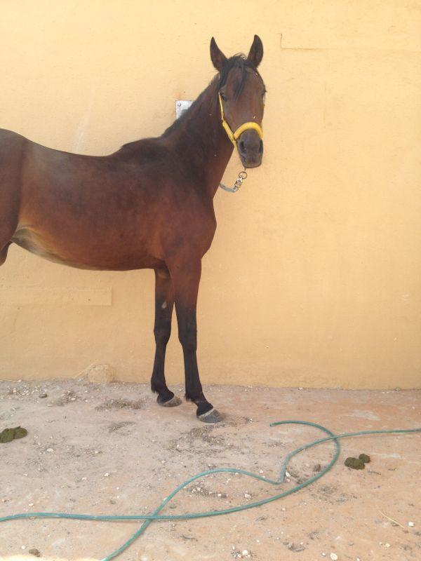 خيول عربية اصيلة للبيع فى السعودية 2021 403891314