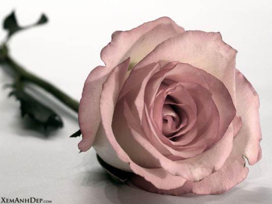 Sokratov klub neznalica (chat) - Page 2 Beautiful_rose01