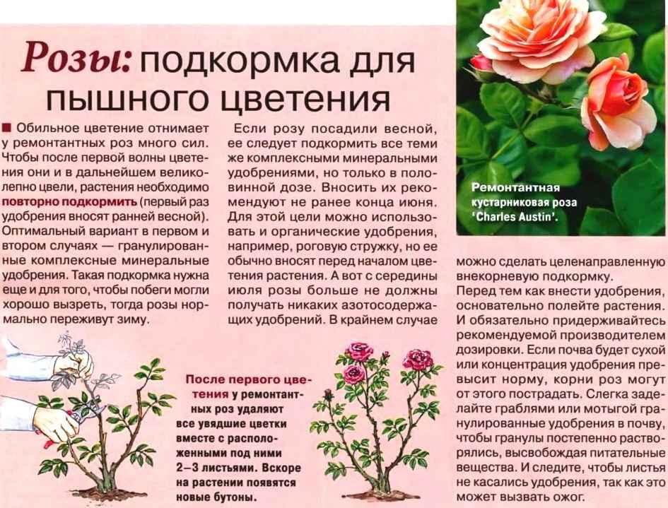 комнатная роза Podkormka-roz