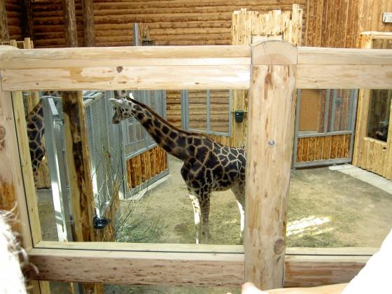 Žirafe 45630_hiz2hw