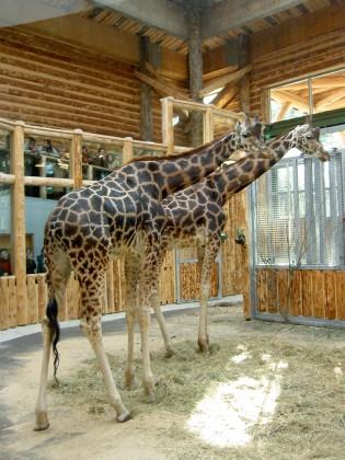 Žirafe 45633_D39Aom