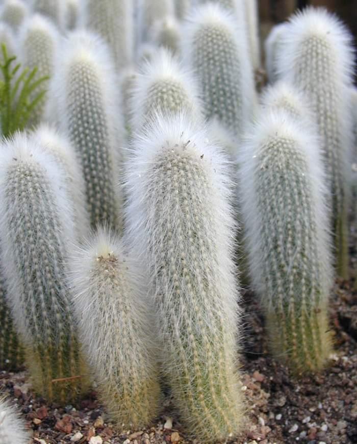 Cleistocactus strausii 620