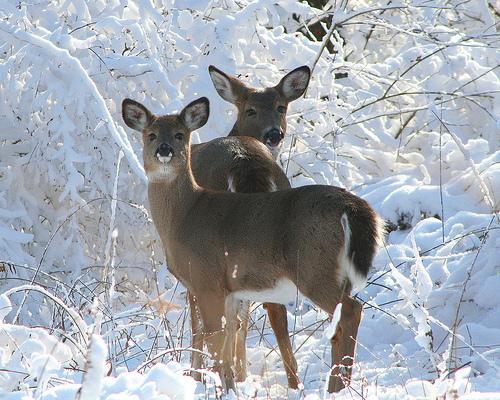 Snežne čarolije Deer-in-the-snow1