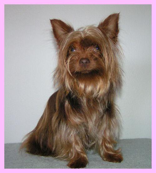Mutaciones en el Yorkshire terrier Reese%2004-09%20OPT