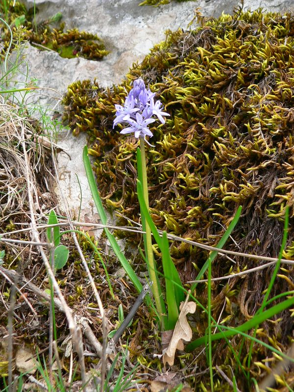 Hyacinthoides italica Hyacinthoides_italica
