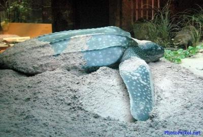 самые странные животные планеты 1380707699_1306556581_bolshaya-cherepaha-12