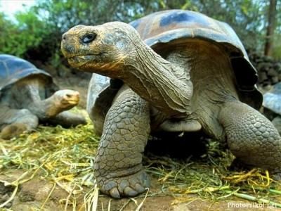 самые странные животные планеты 1380707700_1306556275_bolshaya-cherepaha-9