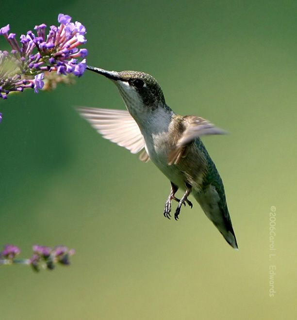 AVES DEL MUNDO... - Página 22 20080414121713-colibri.a.gorge.rubis.caed.7g