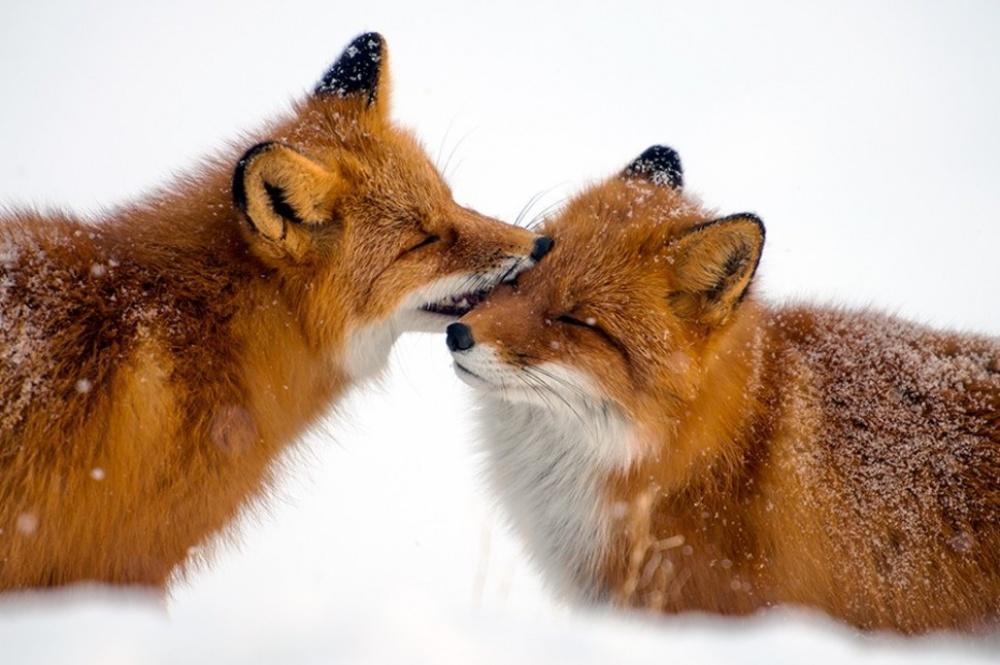 I ZIVOTNITE IMAAT CUVSTVA 764205-1000-1455527029-fox