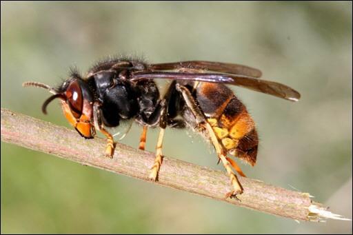 Les abeilles, témoins du bon état de notre environnement, disparaissent massivement Vespa-Velutina_2