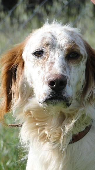 Setter-Notfälle auf Mallorca Hund7_405639