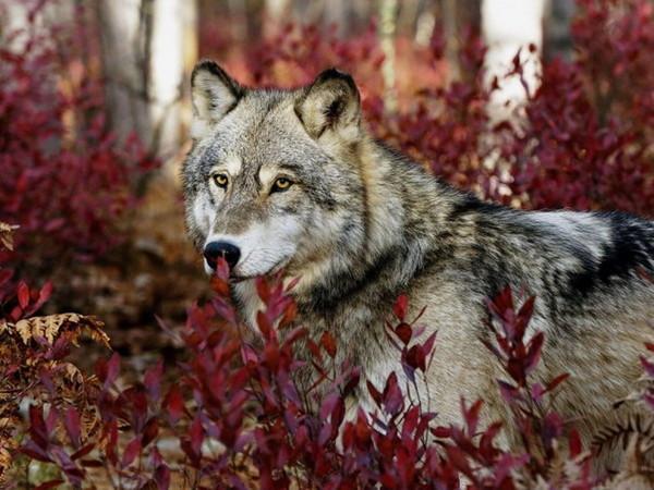 Les loups 8f8e5086