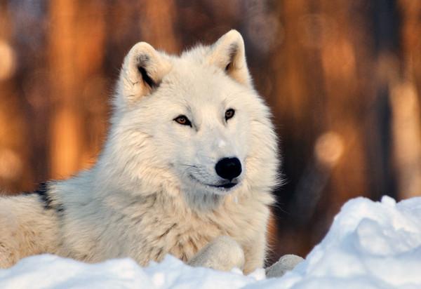 Les loups 91dda560