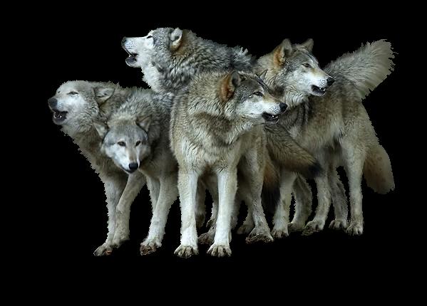 Les loups E6c01a93
