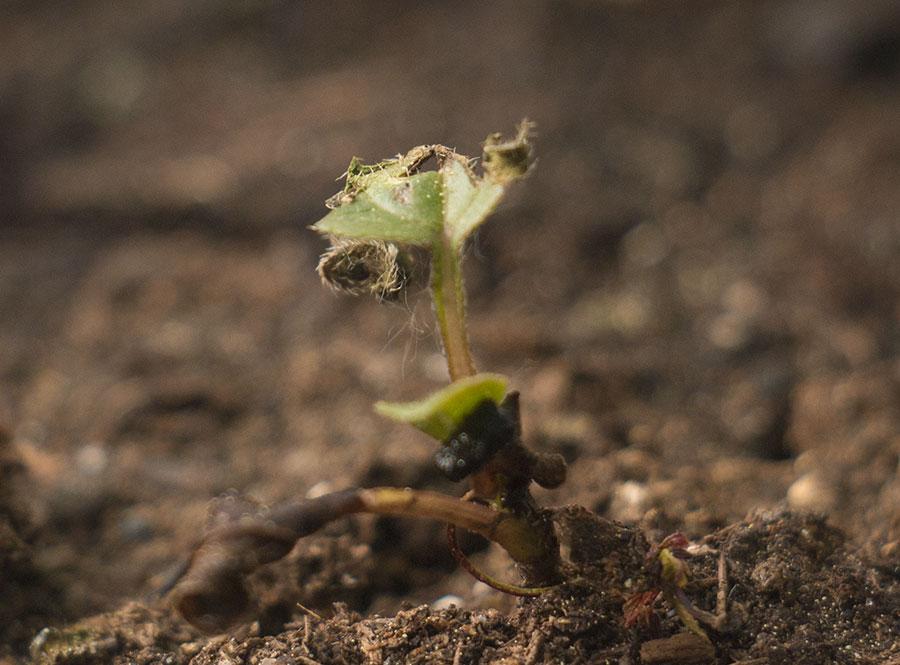 Semis d'echinacées : feuilles qui s'assèchent IMG_3650_Echinacea