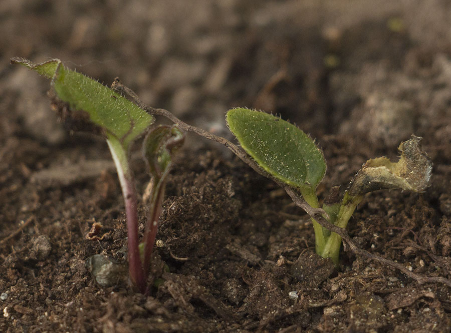 Semis d'echinacées : feuilles qui s'assèchent IMG_3653_Echinacea