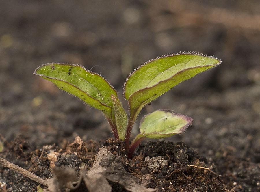 Semis d'echinacées : feuilles qui s'assèchent IMG_3654_Echinacea