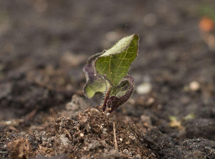 Semis d'echinacées : feuilles qui s'assèchent IMG_3655_Echinacea
