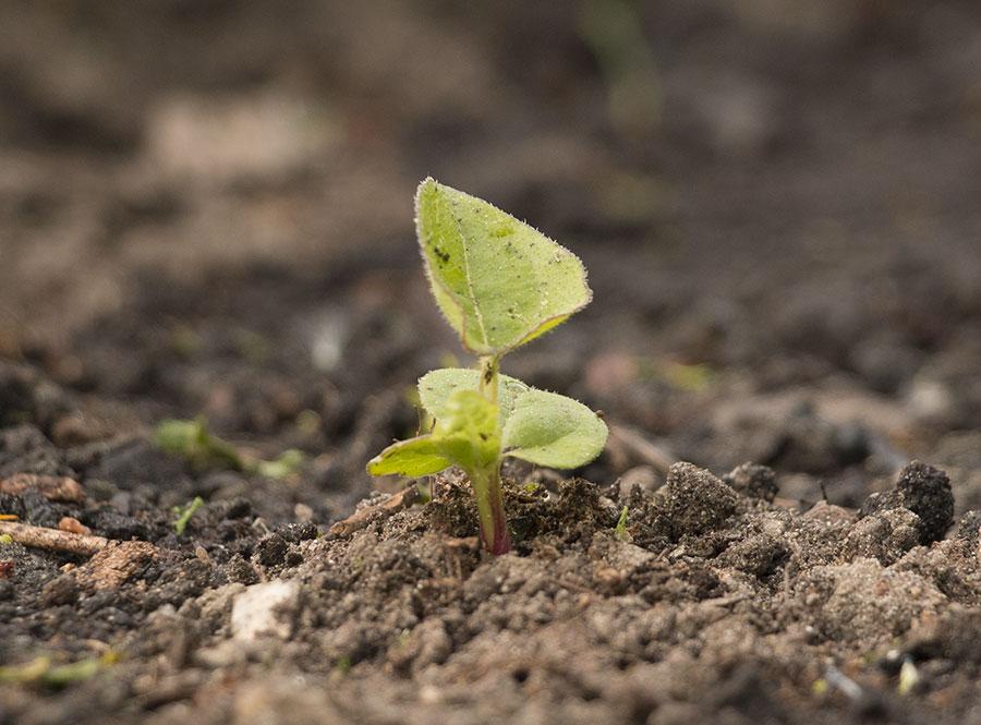 Semis d'echinacées : feuilles qui s'assèchent IMG_3656_Echinacea