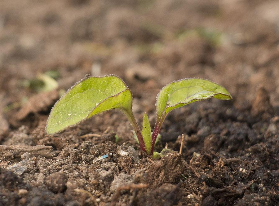 Semis d'echinacées : feuilles qui s'assèchent IMG_3658_Echinacea