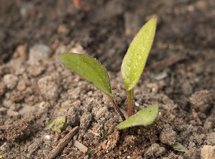 Semis d'echinacées : feuilles qui s'assèchent IMG_3659_Echinacea