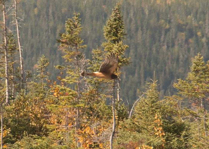 Oiseau en vol pour identification IMG_2781