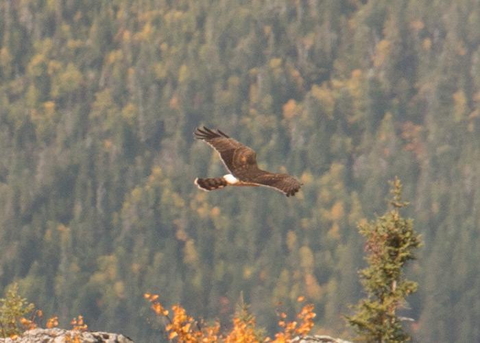 Oiseau en vol pour identification IMG_2784