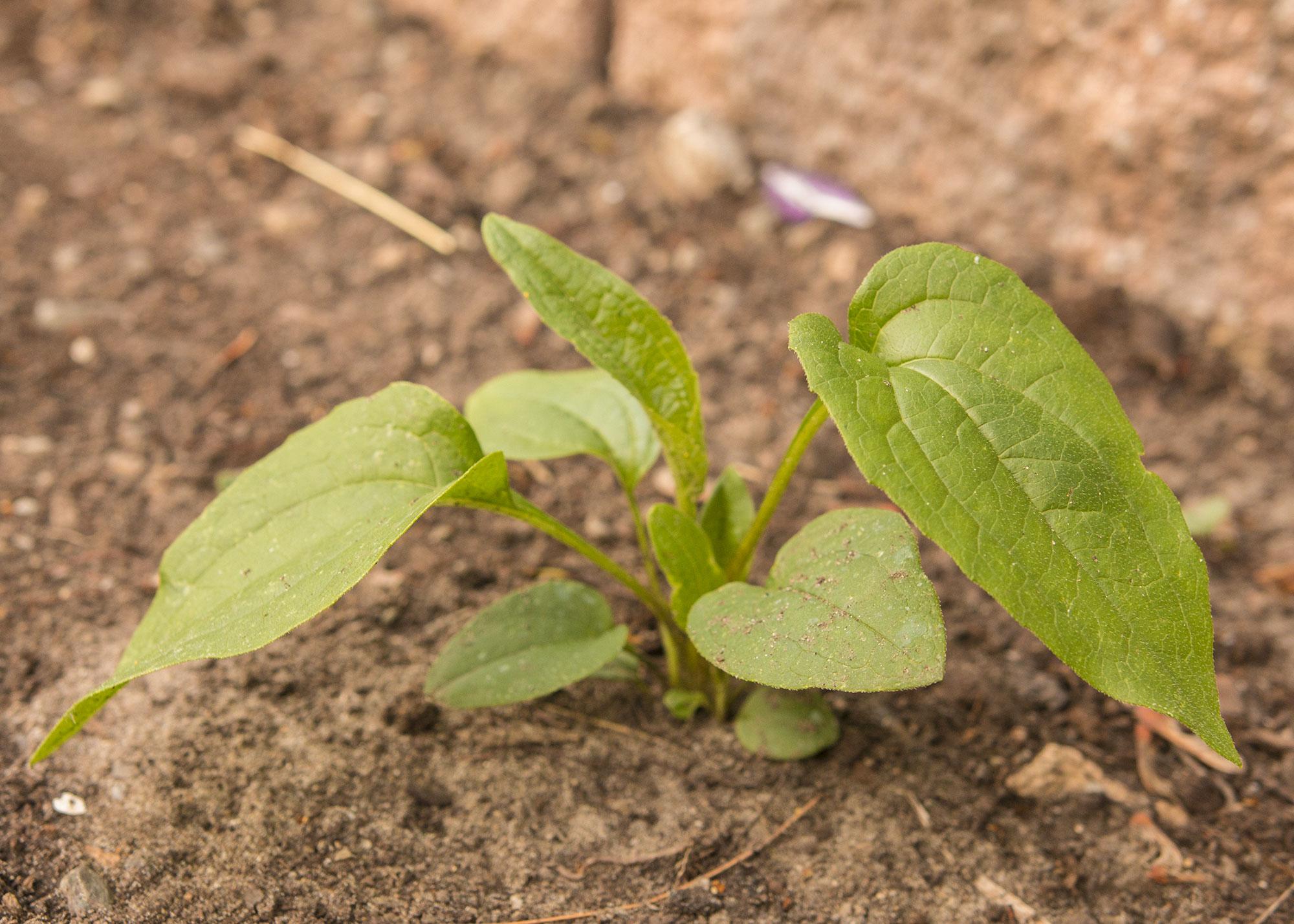 Semis d'echinacées : feuilles qui s'assèchent 02_IMG_3800