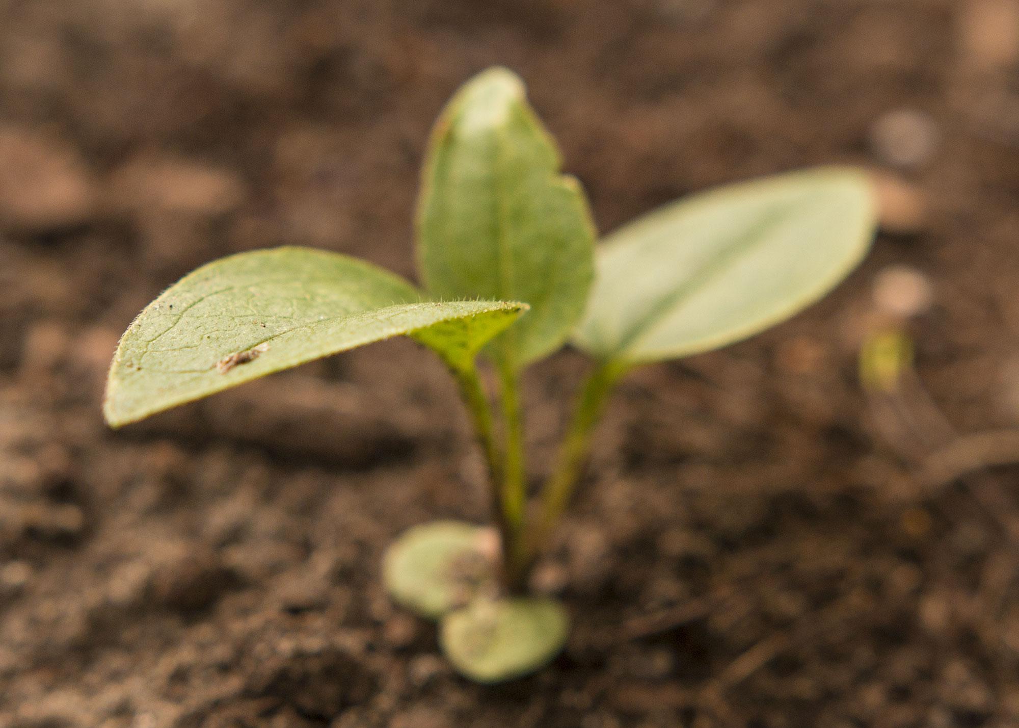 Semis d'echinacées : feuilles qui s'assèchent 03_IMG_3801