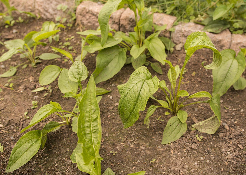 Semis d'echinacées : feuilles qui s'assèchent 2021-07-17_IMG_4047