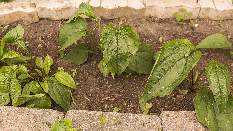 Semis d'echinacées : feuilles qui s'assèchent 2021-07-17_IMG_4048