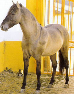 Соррайа (пони) Sorraya1