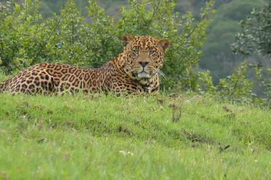 Jaguar venezuelano VS Leopardo macho monstro 1337260268-leopardo-en-aberdares