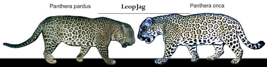Jaguar venezuelano VS Leopardo macho monstro - Página 2 1353523698-leopjagsig