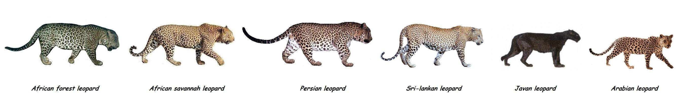 Jaguar venezuelano VS Leopardo macho monstro 1353599632-leopard-subspecies-comparison-all