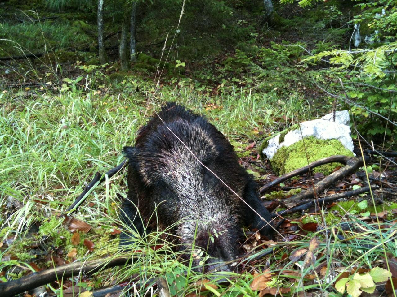 Saison de chasse au Grand Gibier 2012/2013 1360148633-iphone-image-02-06-2013