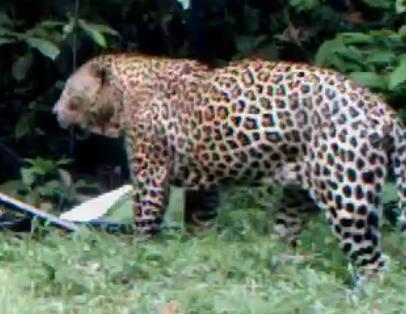Jaguar venezuelano VS Leopardo macho monstro - Página 4 1366490289-gaboon-leopard-mirror
