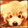 Fufu's Gallery - Page 2 1420024574-icone-panda-roux