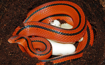 L'examen de son premier serpent 1424863121-oreocryptophis-porphyraceus-003-f