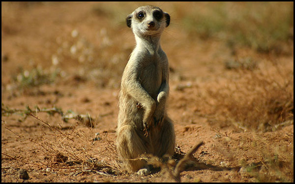 Fiches Animaux 1428004257-image-suricate