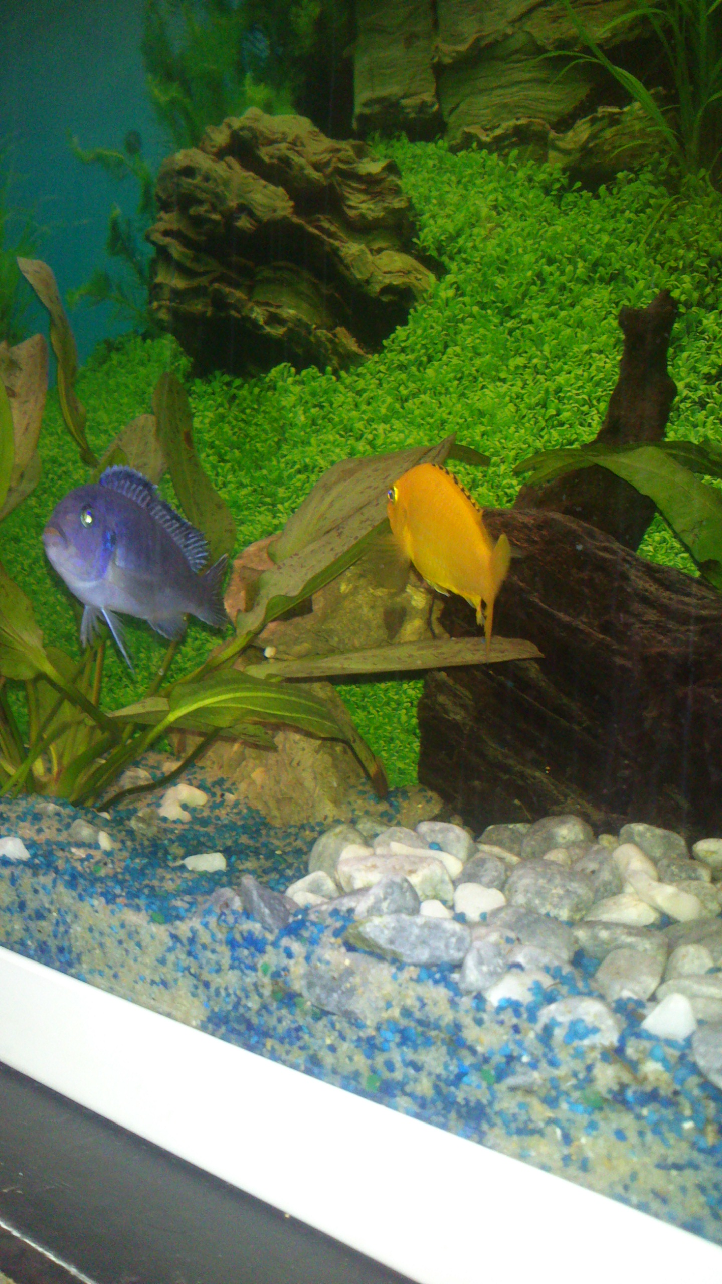 Aquarium 120L - Cichlidés  1432540910-dsc-0069