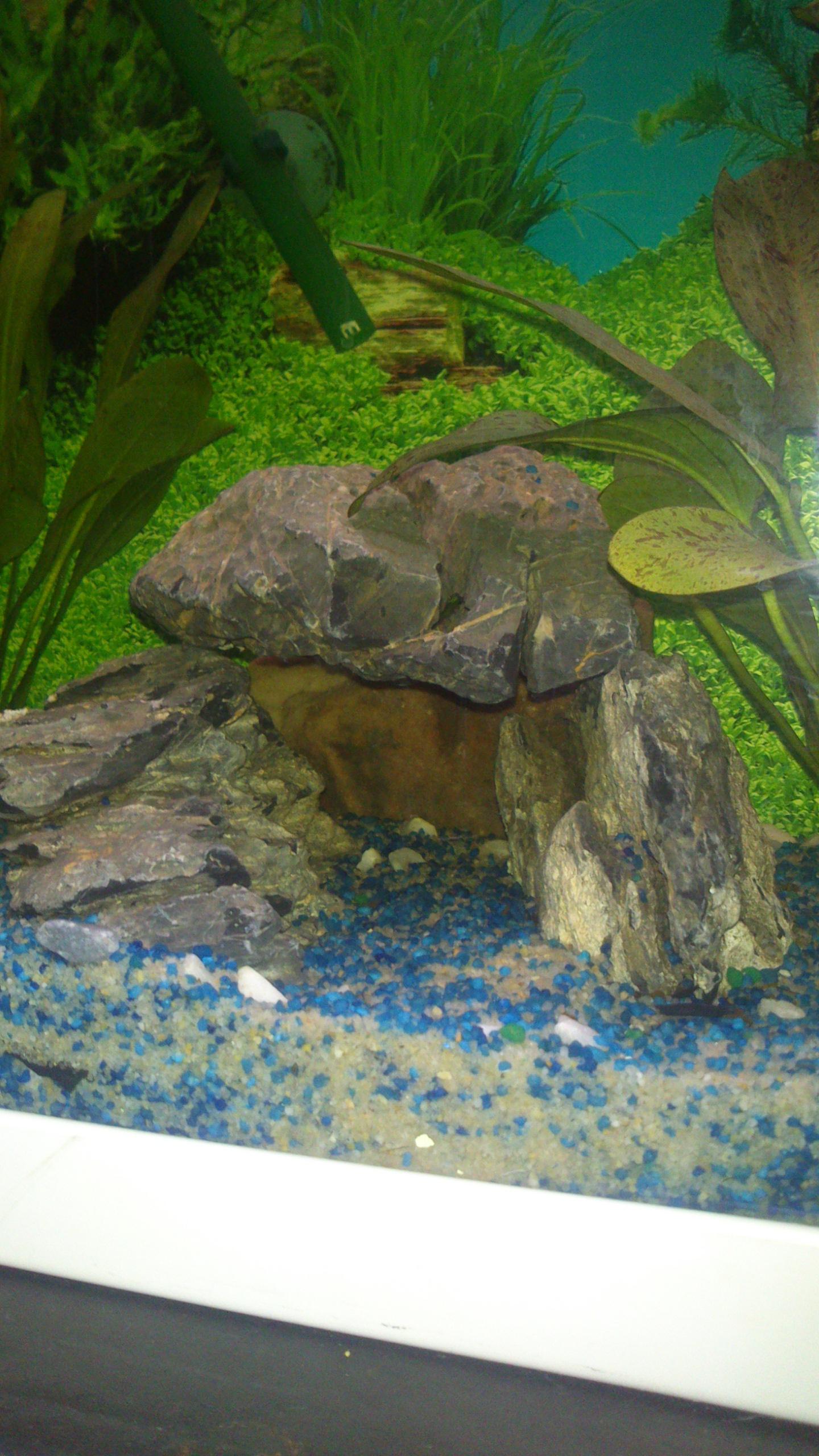 Aquarium 120L - Cichlidés  1432540920-dsc-0066