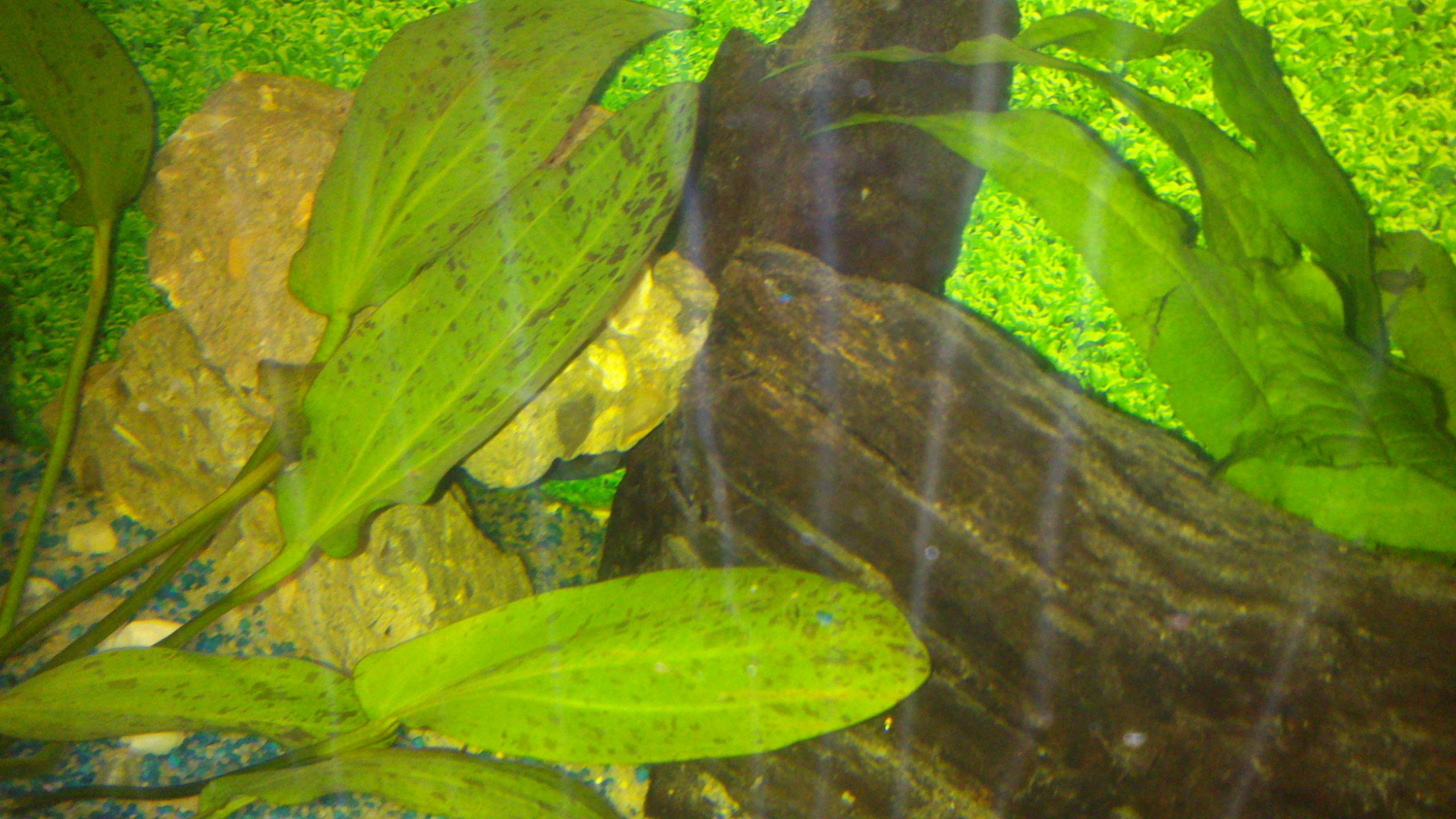 Aquarium 120L - Cichlidés  1432540921-dsc-0057