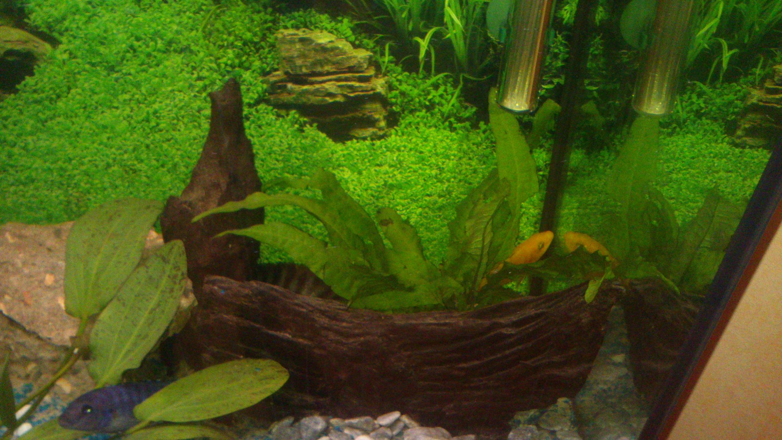 Aquarium 120L - Cichlidés  1432540982-dsc-0053