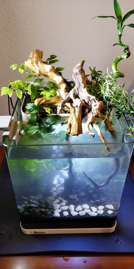 20L aquaponique / Betta Splendes 1542716625-img-20181119-171403