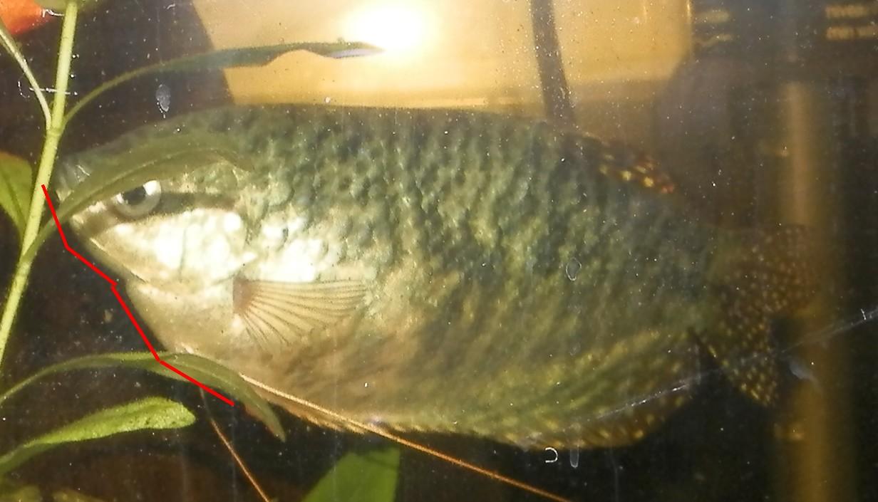 Gourami bleu mâle ou femelle ?  1546461190-gourami-trichopodus-trichopterus-0016